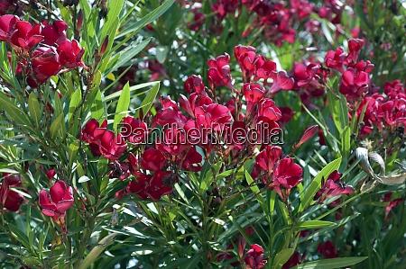 oleander nerium oleander giftpflanze wildpflanzen