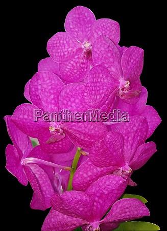 orchidee vanda hybride