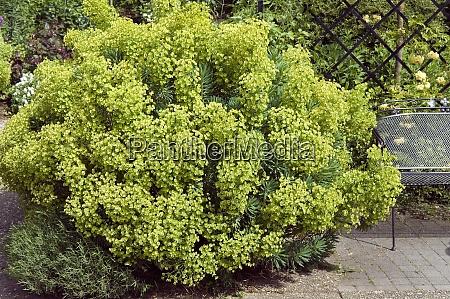 palisaden wolfsmilch euphorbia characias