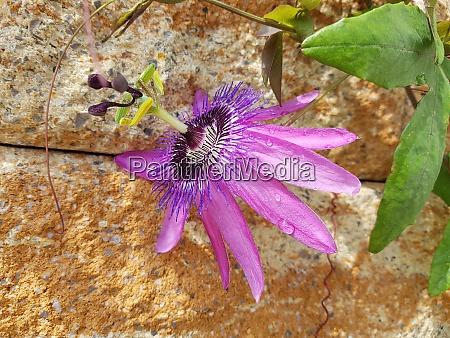 passiflora violacea violette passionsblume kletterpflanze heilpflanze
