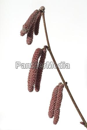haselnusskaetzchen corylus avellana