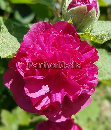 stockrose althaea rosea celebrities purple