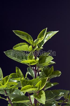 strauchbasilikum ocimum species basilicum