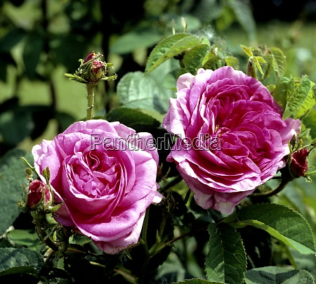 strauchrose gallica rose