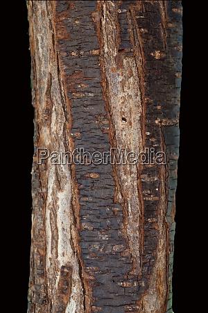pflaumenbaumstamm prunus domestica