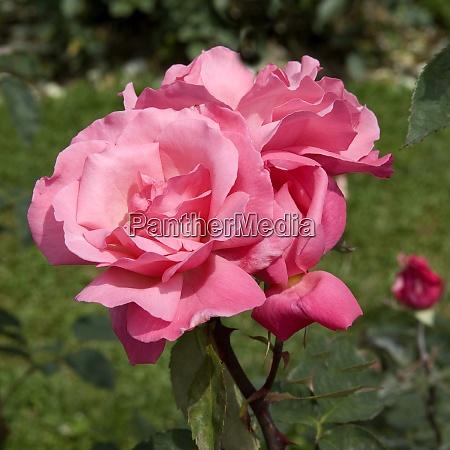 teehybrid rose