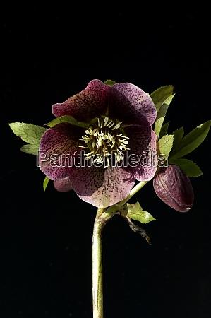 purpur nieswurz helleborus purpurascens