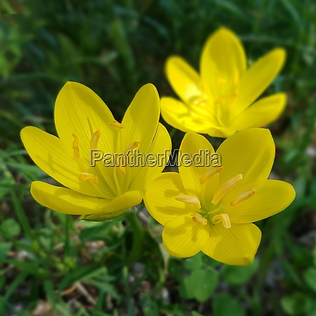 gewitterblume sternbergia lutea