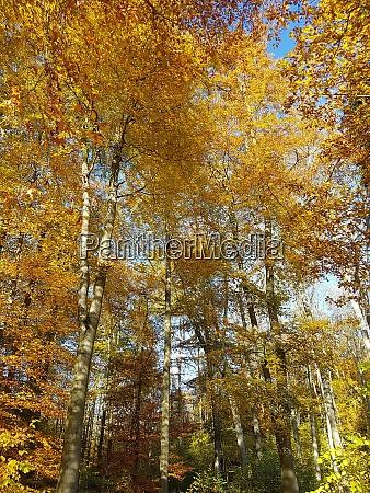 buchenwald herbst