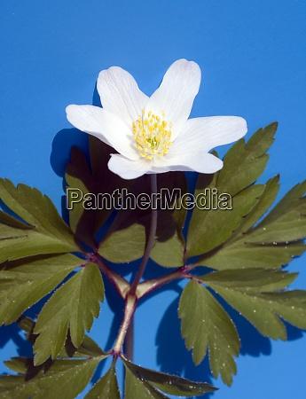 buschwindroeschen anemone nemorosa