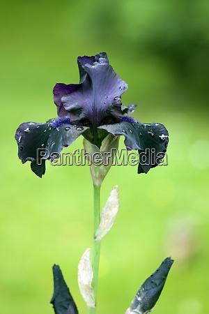 hohe bart iris hello darkness