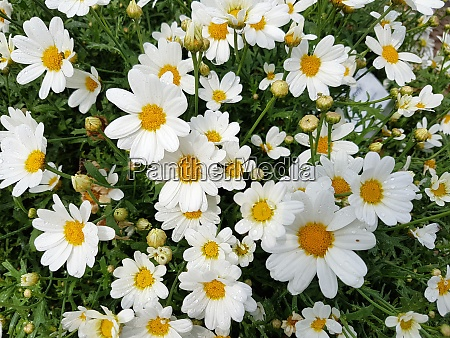 strauchmargerite chrysanthemum frutescens pure white butterfly