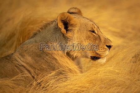 close up of lioness lying in