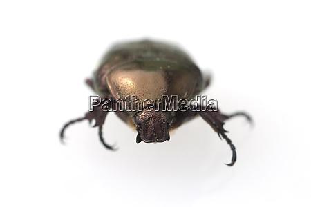 rosenkaefer cetonia aurata