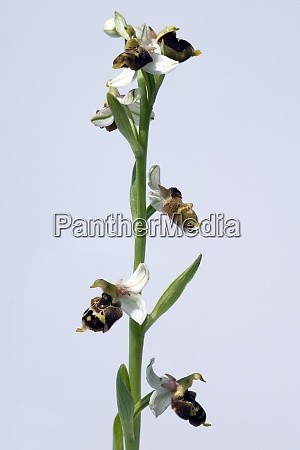 hummel ragwurz ophrys holoserica ragwurz orchidee