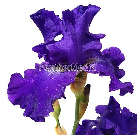 schwertlilie iris barbata elatior blue rhythm