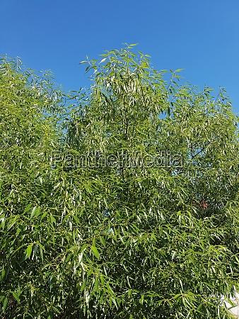 silberweide salix alba blatt laubbaum heilpflanze