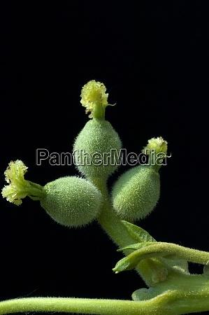 walnussbaumbluete weiblich