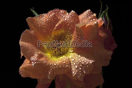 westerland strauchrose gartenblume rose