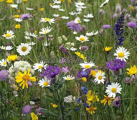 wildblumenwiese blumenwiese