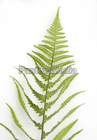 wurmfarn dryopteris filix mas