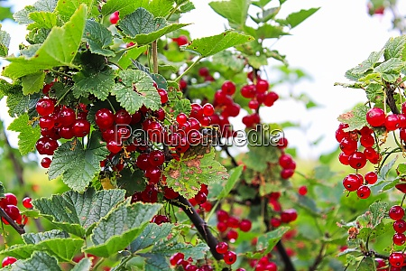 an upright branch of red currents