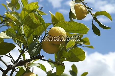 zitronen citrus limon
