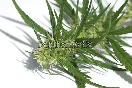 hanfbluete weiblich hanf cannabis indica