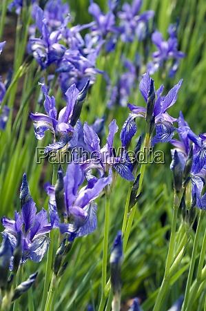 zwergiris iris ruthenica