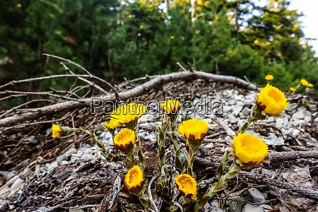coltsfoot yellow flower between stones in