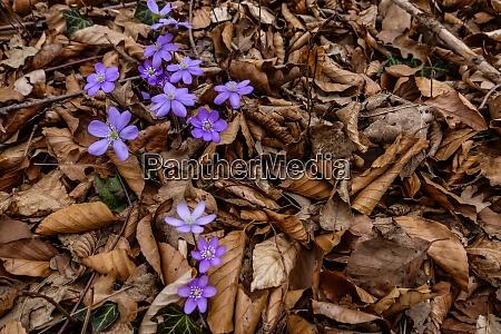 fresh liverleaf flower between brown leaves