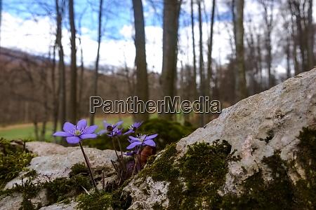 liverleaf flower on a rock with