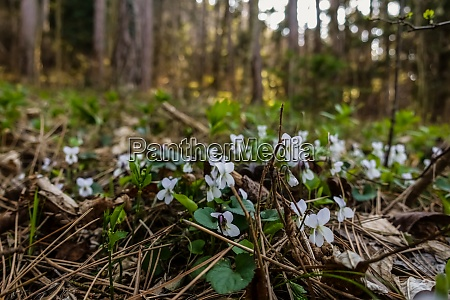 many white violet in the forest