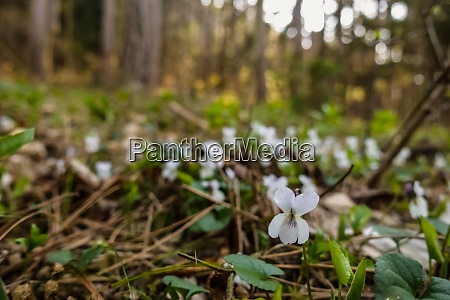 white violet while hiking in the