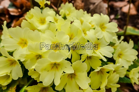 yellow primrose while hiking in the