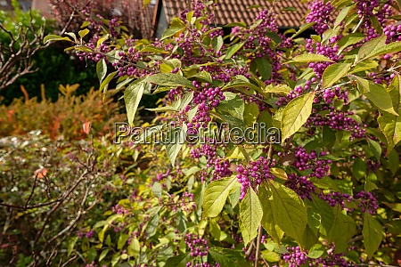 beautyberry callicarpa with lilac berries in