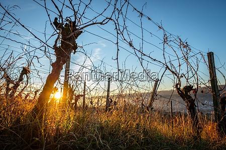 grapevines in winter sunrise