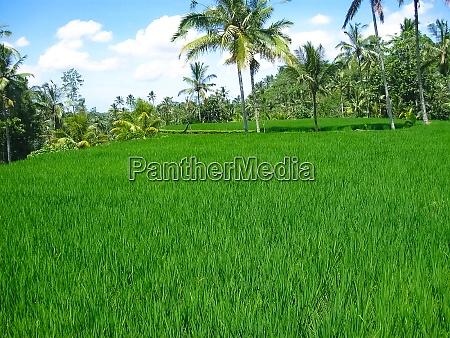 green rice terraces in bali island