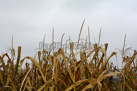 a dried out corn field in