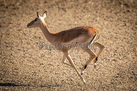female common impala runs over gravel