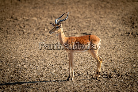 female common impala stands in rocky