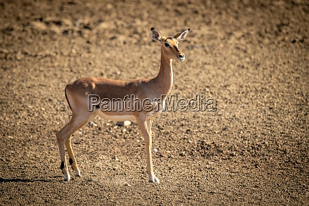 female common impala stands on rocky
