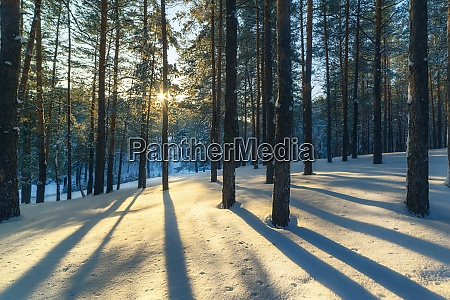 winter landscape in a pine forest