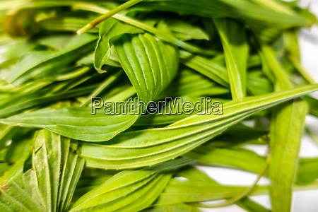 fresh ribwort in spring detail