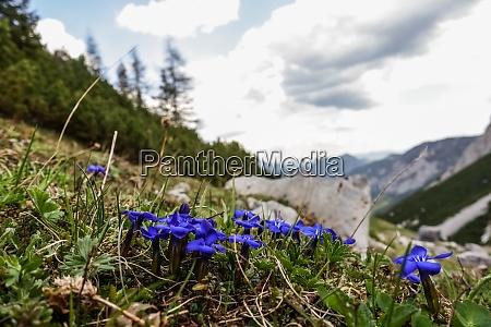 gentian flowers on a meadow in