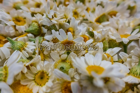 lot of fresh chamomile flowers closeup