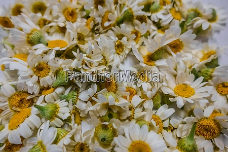 lot of fresh chamomile flowers large