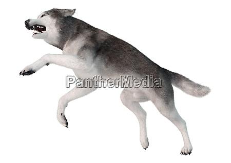 3d rendering siberian husky on white