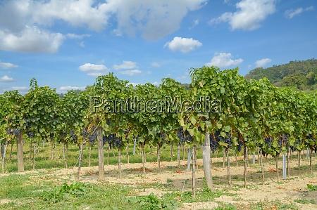 vineyard at neusiedler see burgenland austria