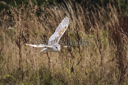 barn owl with spread wings flying